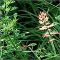 Fumitory Herb