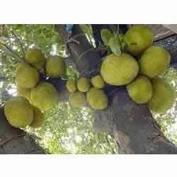 Jackfruit (Kanthal)