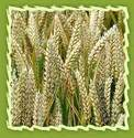 Wheat Germ Oil (sesamum Indicum)