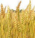 wheat brand