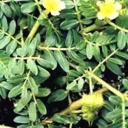 Gokhru Herbs/ Tribulus Terrestris Herbs