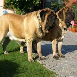 gigantic english mastiff
