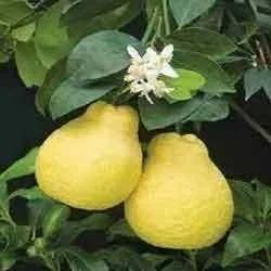 Sweet+Lemon