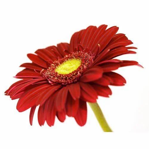 Kissan Flowers