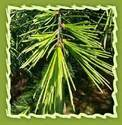 Clove Leaf Oil (eugenia Caryophyllata)