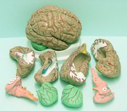 Human Brain, With Arteries, 8 Parts