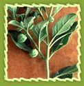 Ashwagandha, Winter Cherry, Indian Ginseng