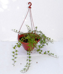 Hanging Baskets-Hedera Helix English IVY