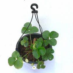 Hanging Baskets-Strawberry