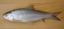 bata labeo bata fish seeds