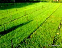 Mexican Green Carpet Grass / Lawn Grass