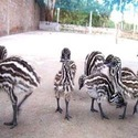 Product Of EMU Birds