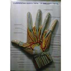 Palm Dissection Model