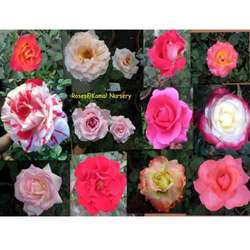 Roses Plants( Red Rose / Fragrant Rose / Scented Rose )