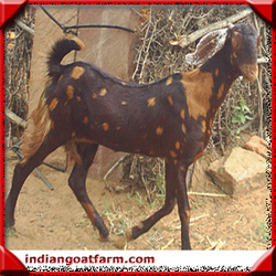 Indian+goat+farm+sirohi+jamunapari+totapari+goats+delhi