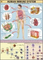 Human Immune System Chart