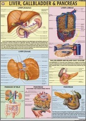 Liver, Gall Bladder & Pancreas  For Human Physiology chart