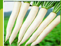 Radish F-1 Suttind No 1