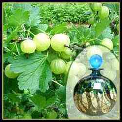 Herbal Amla Fragrance 1