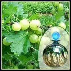 Herbal Amla Fragrance 1
