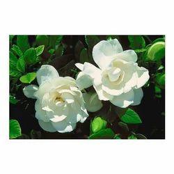 Gardenia Perfume Oils