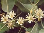 Bakul Perfume Oils