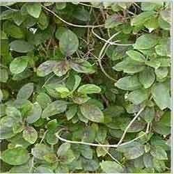 Gymnema Sylvestre (Asclepiadaceae)