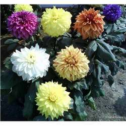 Dahlia (Winter flower - Rooted cuttings)