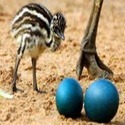 EMU Bird & Eggs