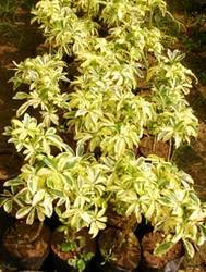 Green World Nursery Rajahmundry Manufacturer Of Ornamental Plants