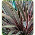 Phormium Pink Stripe