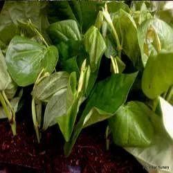 Betel Vine/piper Betle/ Betel Leaves