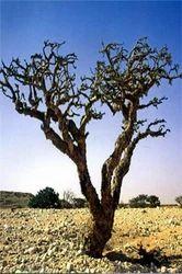 Boswellia Serratta