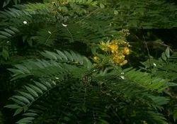 Cassia Angustifloia