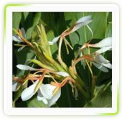 Hedychium Spicatum Extract