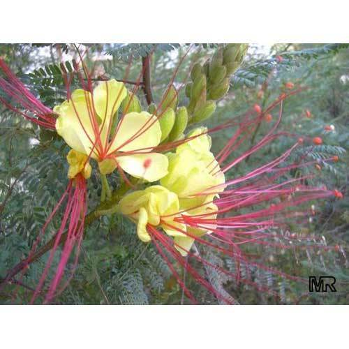 Bird Of Paradise Yellow Bird Of Paradise Wholesale Supplier From