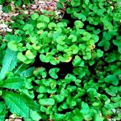 Gotukola/ Centella Asiatica