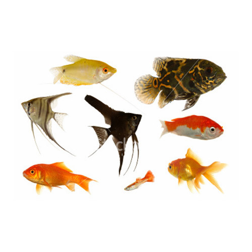 aqua culture color fish color fish exporter from chennai