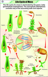 Life Cycle Of Moss For Botany Chart