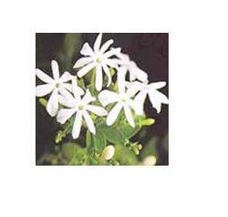 Jasmine Auriculatum