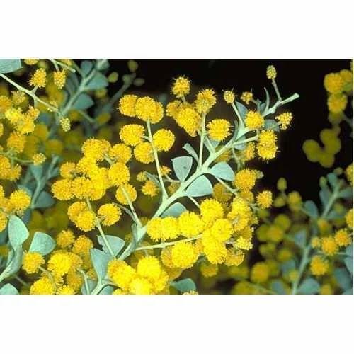 Acacia Perfume Oils