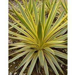 Yucca Bright Edge Tissue Culture Plants