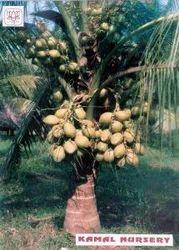 Gangabandhan Coconut (Fruit guaranteed within 3 years)