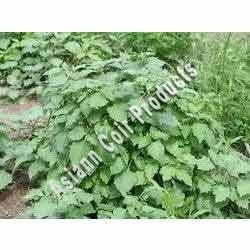Black Nightshade Grow Bags
