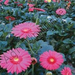 Planting Material Of  Flowers & Foliage's