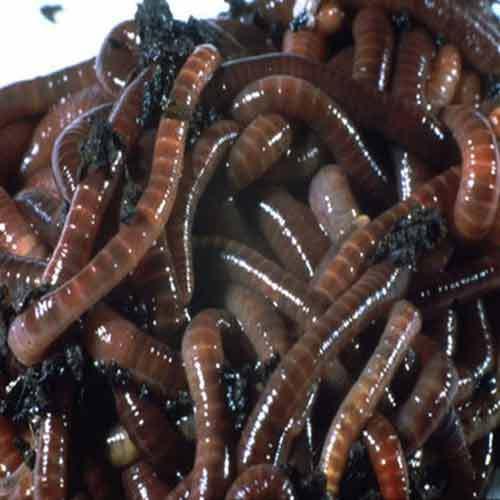 Organic Earthworm