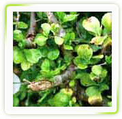Commiphora Mukul Extract ( Gugul Sterones Upto 3)