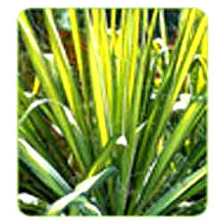 Yucca Golden Sword Tissue Culture Plants