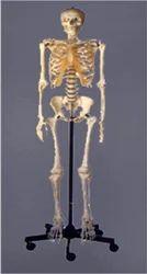 Human+Skeleton
