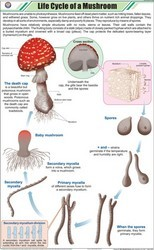 Life Cycle Of Mushroom For Botany Chart